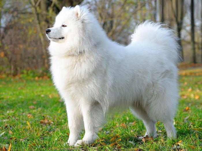 Толкование сонника к чему приснилась белая собака большая или маленькая