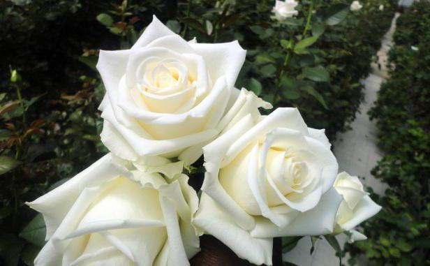 Розы во сне к чему белые