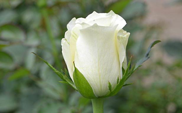 букет белых роз во сне