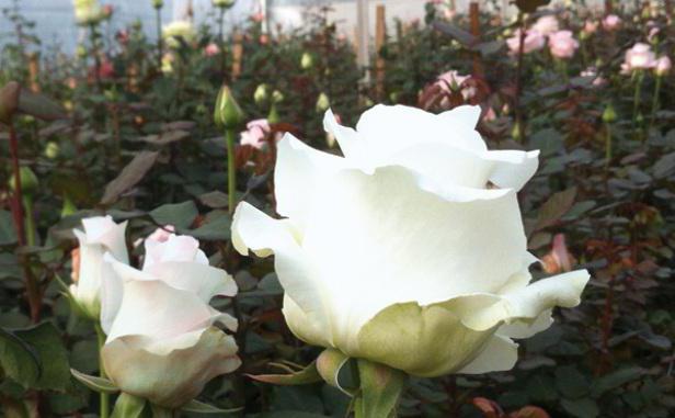 белые розы во сне