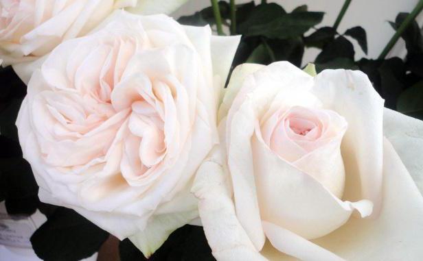 белая роза сонник