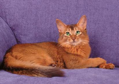 Порода кошек Сомали