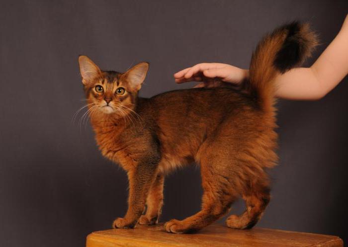 Абиссинские кошки Сомали
