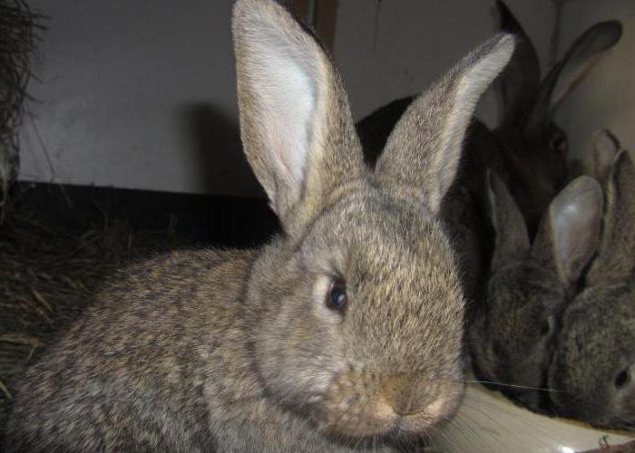 кролики ризен описание породы
