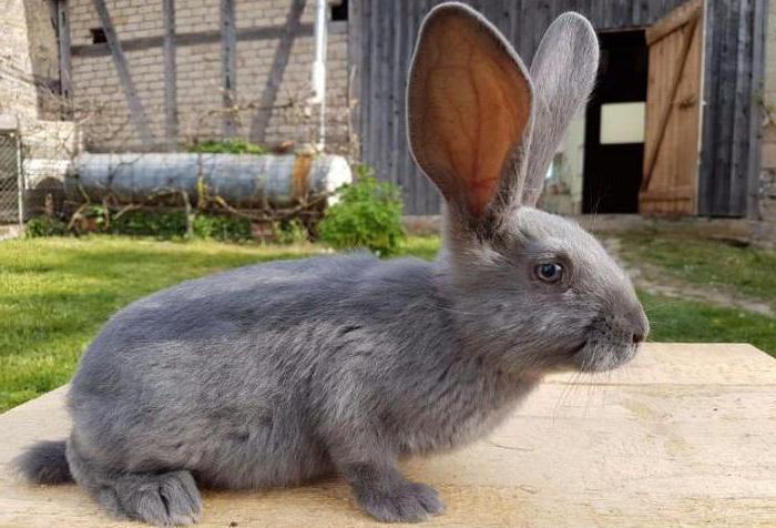 авиатор кролик ризен картинки русского острова стали