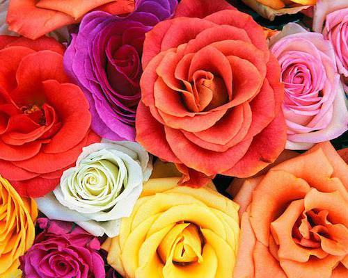 kenyan rose