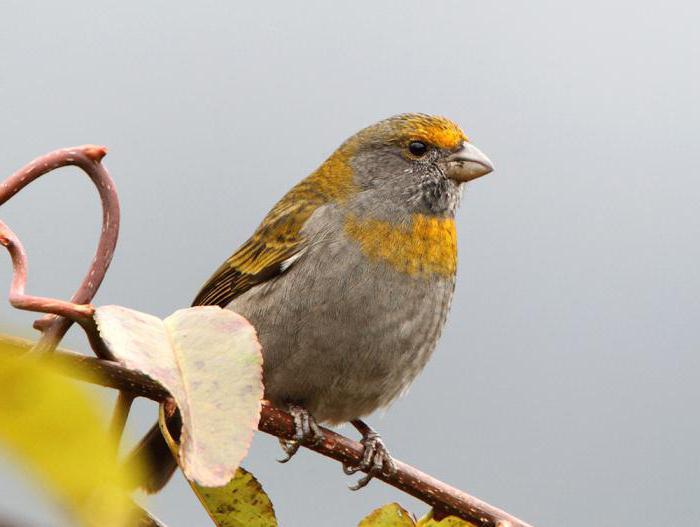 schur bird photo of female and male