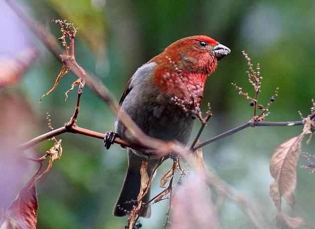 bird schur photos and description