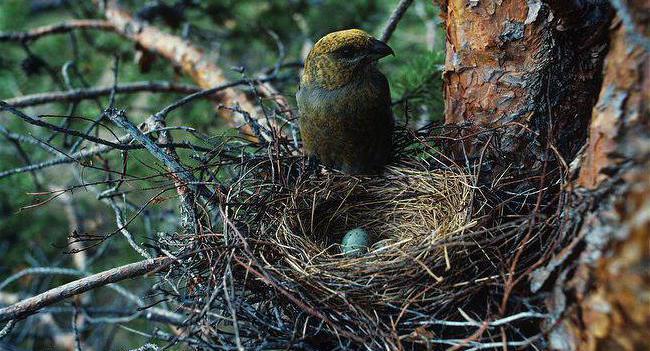 schur bird description