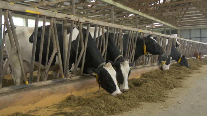 productivity of black motley cows