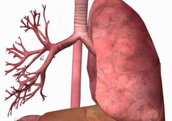Функции бронхов дыхательной системе thumbnail