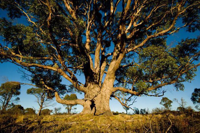 эвкалипт высота дерева