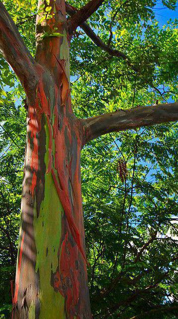 эвкалипт дерево