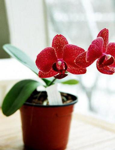 red orchids photo
