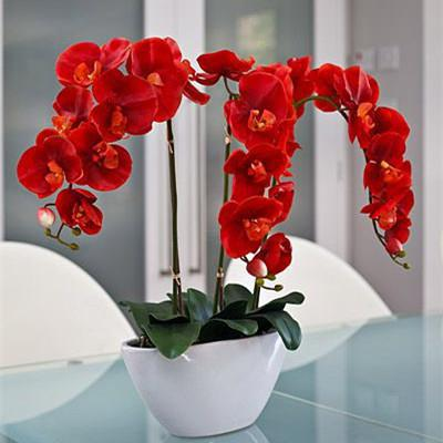 orchid red description