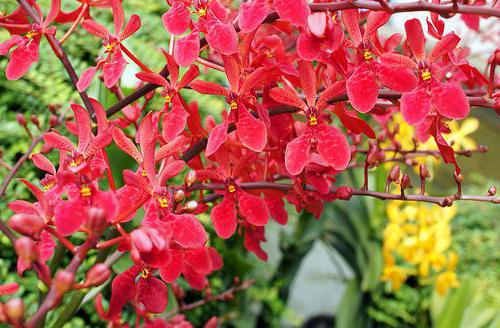 are there red orchids