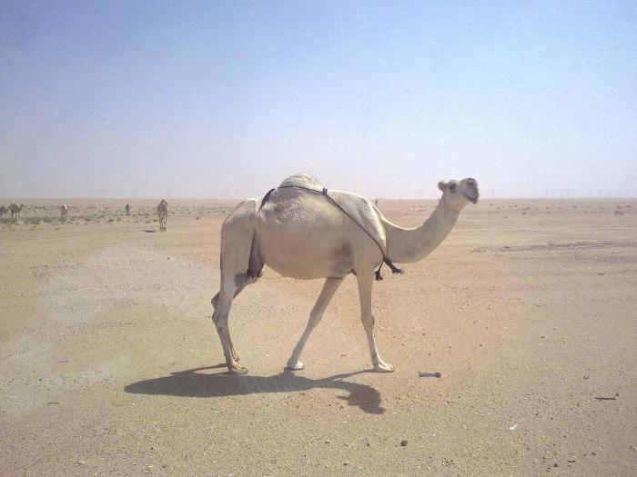 К чему снится верблюд? Сонник расскажет!