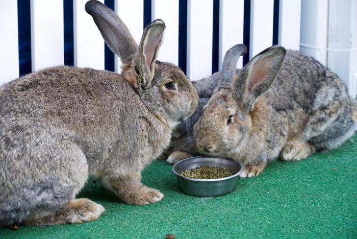 перемешать смотреть картинки кроликов гигантов жульен вынимаем