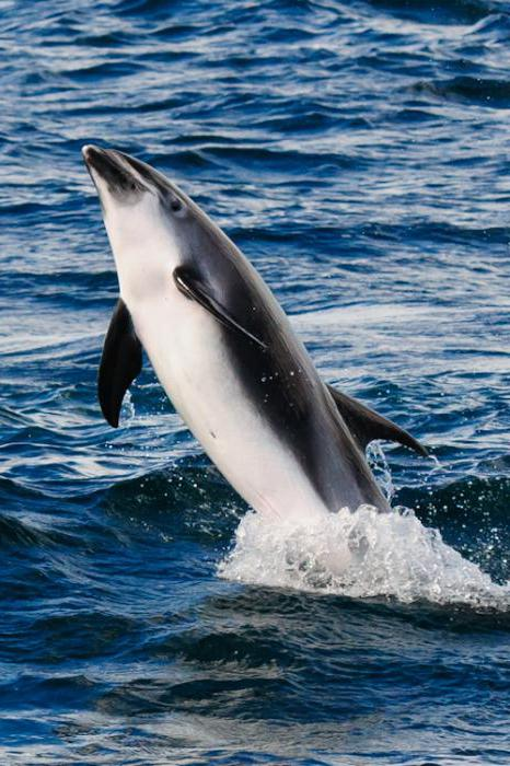 white-faced dolphin of red