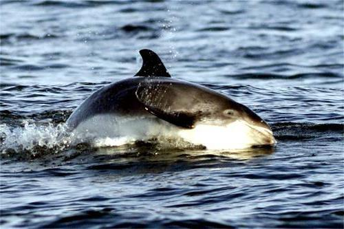 white-faced dolphin photo