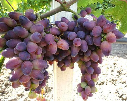 grapes beauty