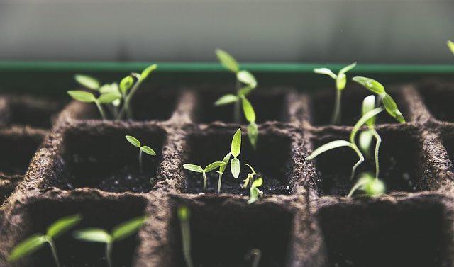 cultivar paratunka