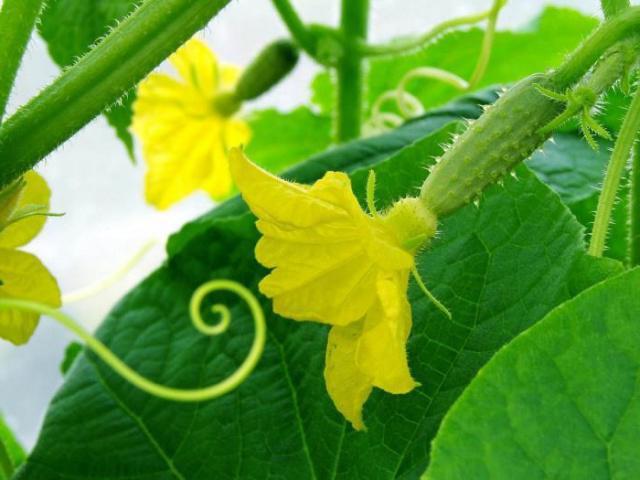 cucumber paratunka description