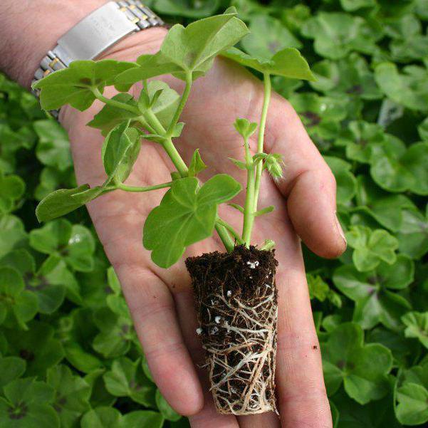 Выращивание калачика 82