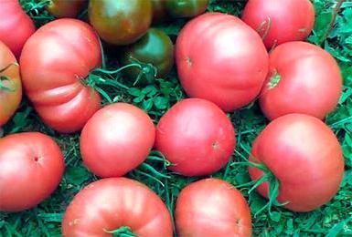 Tomatoes Pink Elephant Description