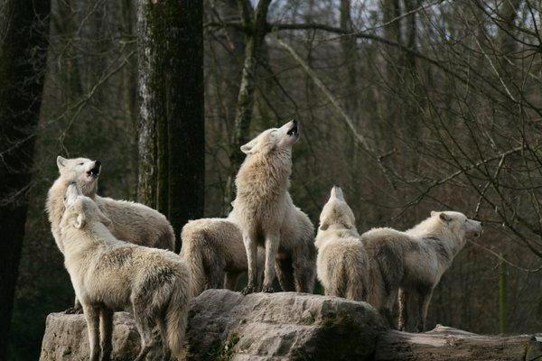what dreams of a pack of wolves