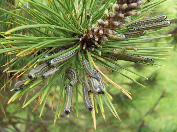 Ліси Херсонщини під загрозою тотального знищення шкідниками (ВІДЕО)