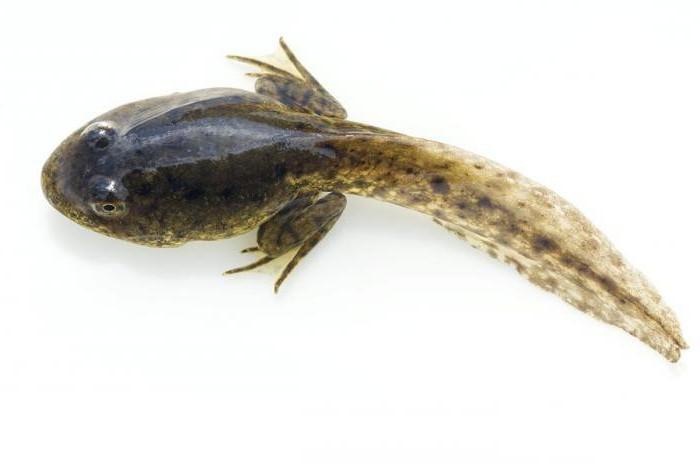 Чем питаются головастики лягушек
