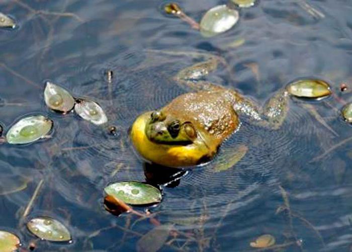 Чем питается лягушка в водоеме