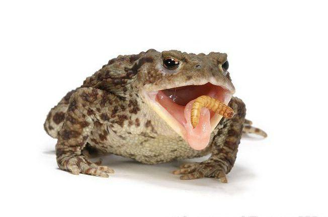 Чем питаются лягушки в природе