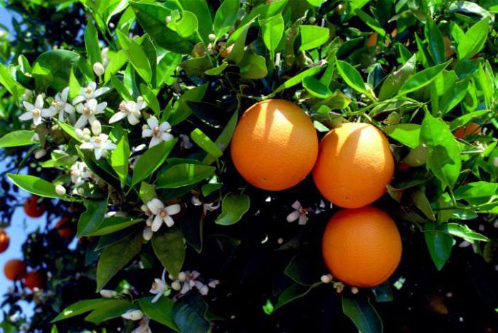 сонник апельсины много