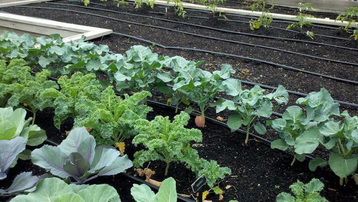 Когда садить капусту брокколи на рассаду на урале 84