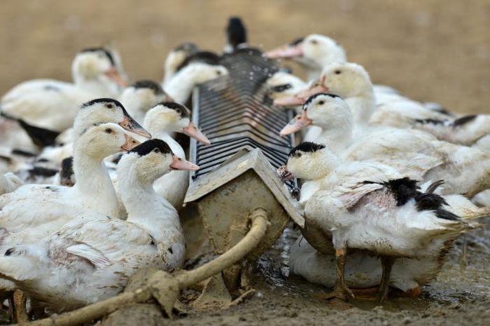бройлерные утки породы