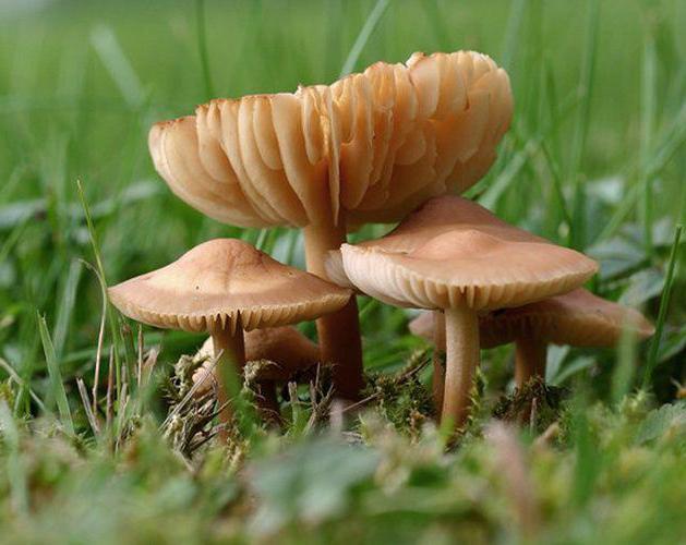 весенние грибы съедобные