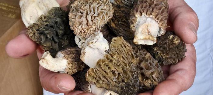 весенние грибы