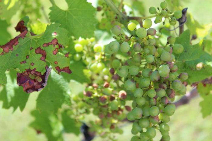Причины появления и методы лечения антракноза винограда