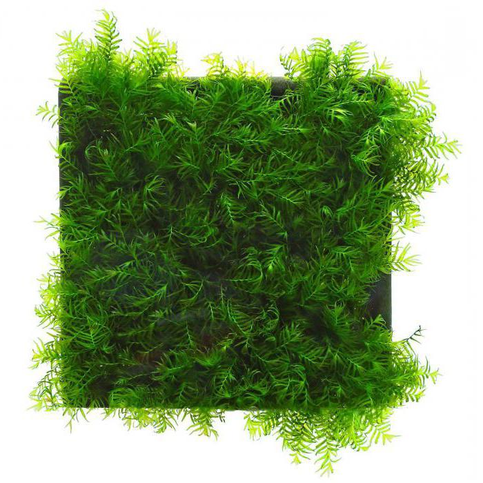 moss for aquarium