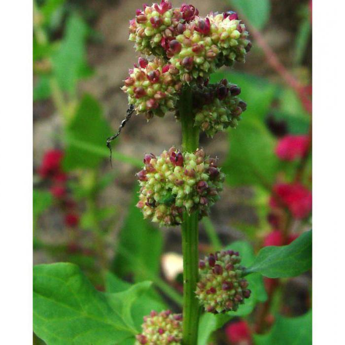 Семена шпинат земляничный