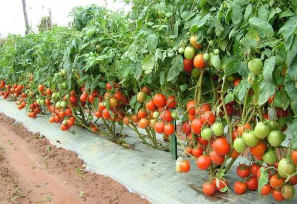 Top dressing tomato after planting yeast
