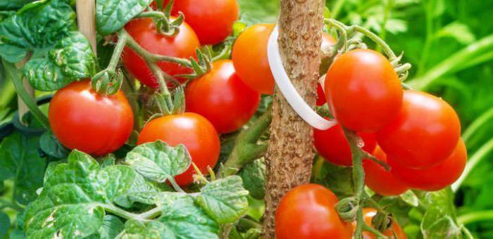 Подкормка помидор дрожжами отзывы