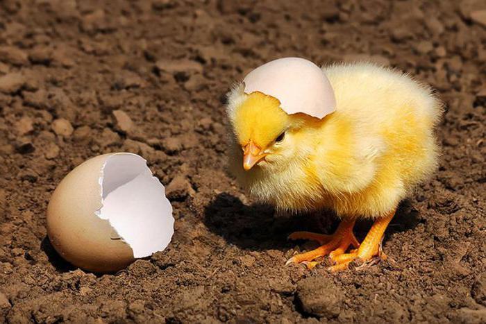 изделия вылупившейся цыпленок картинки направлено