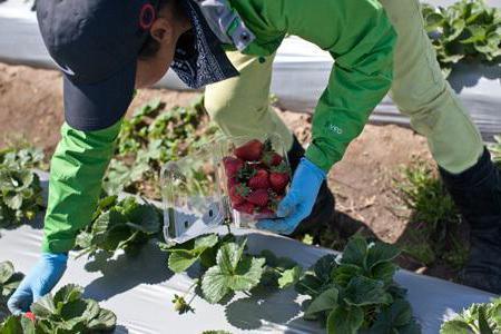 strawberry variety alba