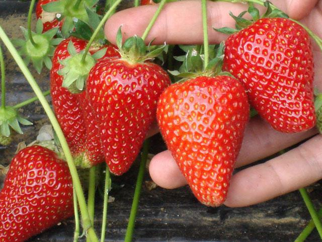 strawberry alba reviews