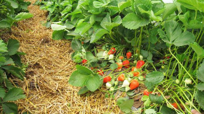 characteristic of strawberry alba