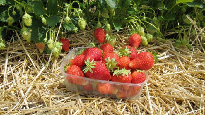 growing alba strawberries