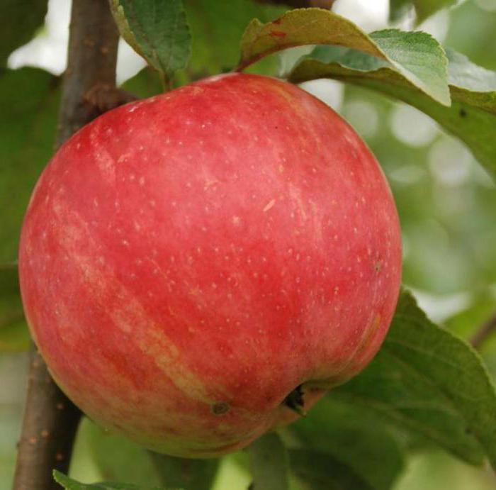 apple tree delight photo description reviews